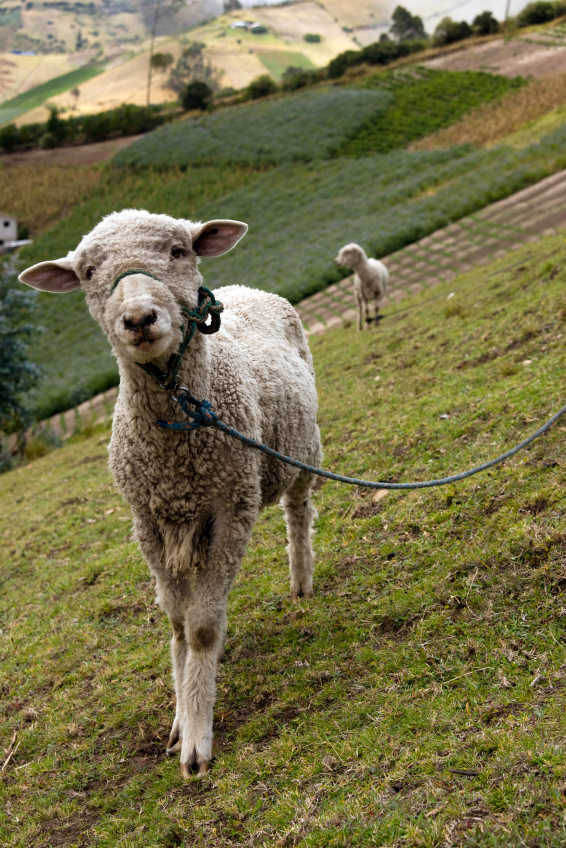 Sheep That Can Txt